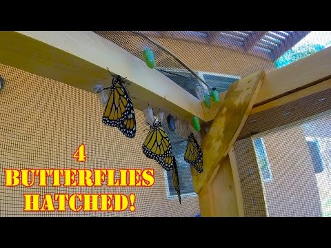 4 Monarch butterflies hatched in the Butterly Enclosure!