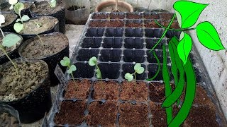 How To Grow Radish Pods Part-1\3