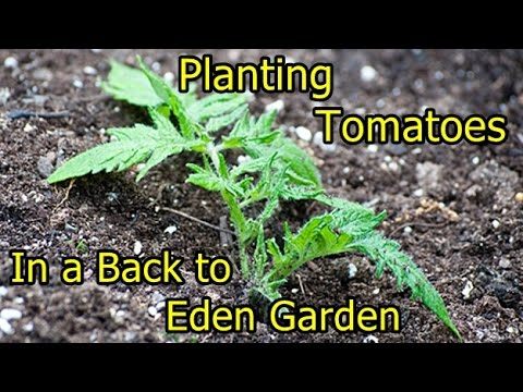 Planting Tomatoes in a Back to Eden Garden