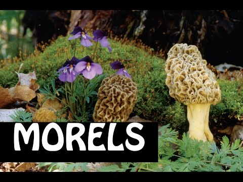 Morels #1:  Where to Find them, How to ID, Types of Morels
