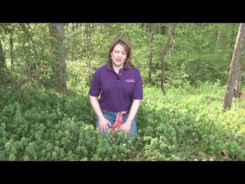 Purple Deadnettle & Henbit Control in Lawns - Millie Davenport