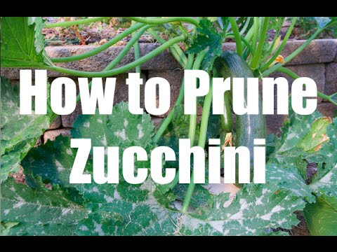 How To Prune a Zucchini Squash Plant