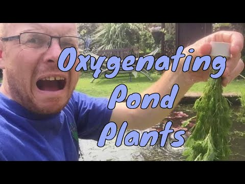 Oxygenating Pond Plants for small ponds