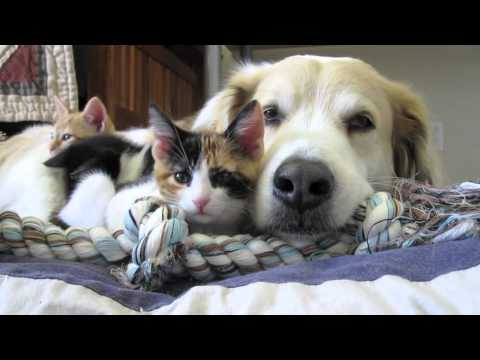 video 39: Murkin the dog falls asleep with his kittens