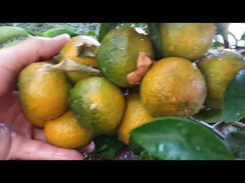 Kinnow Mandarin! Super productive citrus tree for the desert!