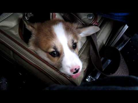 Our Welsh Corgi Puppy on his first flight