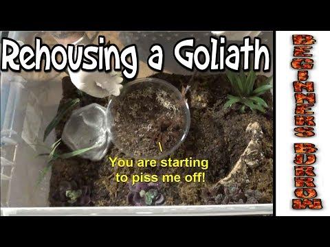 Rehousing a very Unhappy Goliath(T Stirmi) - Beginners Burrow