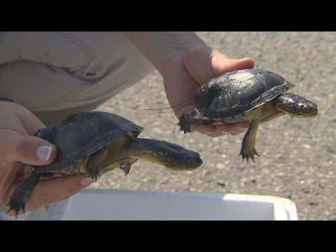 Baby turtles released into the wild