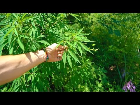 WILD GROWING CANNABIS - North Korea Day 8