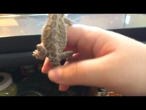 How I clean my bearded dragons tank update