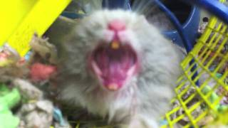Hamster Yawning In Your Face - Parry Gripp