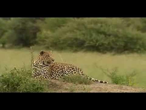 Leopard hunting buffalo