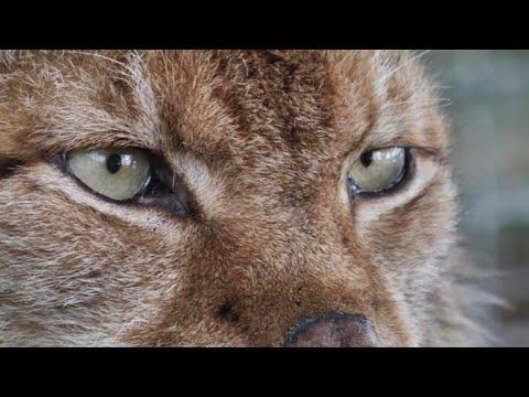 The Balkan Lynx: a national symbol in danger