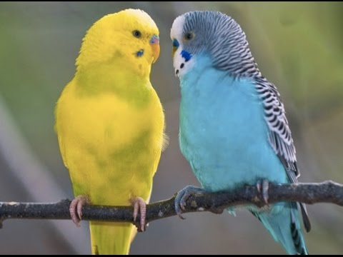 how to keep you budgie healthy and happy