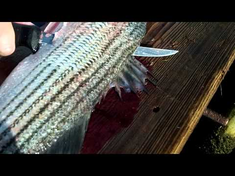 How to filet a rock fish