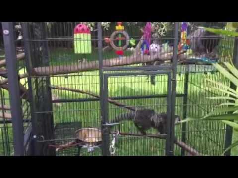 Pet marmoset monkeys