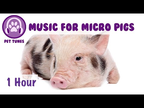 Music for Micro Pigs! Micro Pig Music, Relax and Calm Your Pig with Soothing Music for Pets