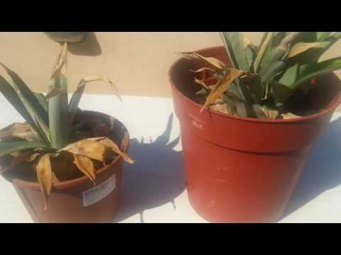 Grow pineapple - How To Regrow Pineapple Update