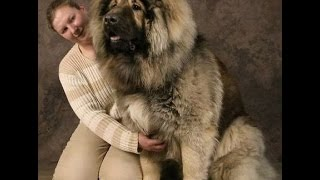 23 Gigantic Dogs Who Think They