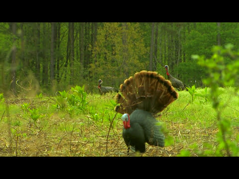North Carolina Gobblers