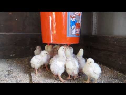 Teaching chickens to drink from chicken waterers