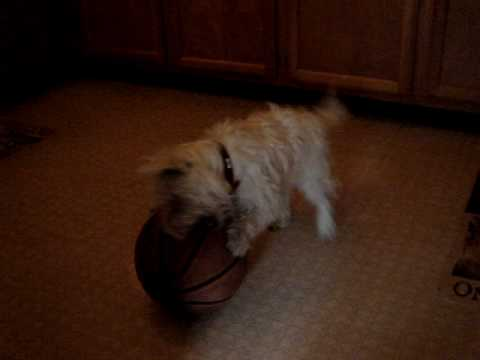 Cookie the westie was playing basketball after she just got spayed