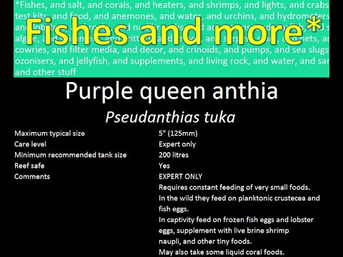 Purple queen anthia (Pseudanthias tuka)