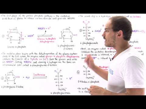 Oxidative Phase of Pentose Phosphate Pathway