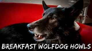 Breakfast Wolfdog Howls