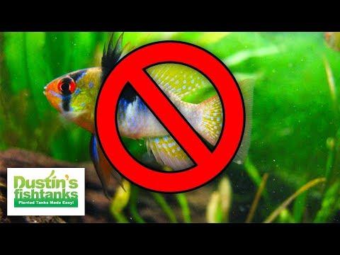Cichlids I'm NOT KEEPING - NO German Blue Rams