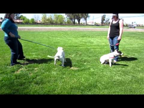 Introducing two dogs for the first time - Chako Pit Bull Rescue