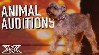 BEST ANIMAL Auditions On The X Factor UK! | X Factor Global