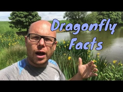 Dragonfly Information - Fun facts about Dragonflies - Any Pond LTD