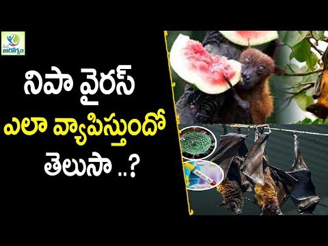 Nipah Virus Can Spread With These Animals - Health Tips In Telugu || mana Arogyam