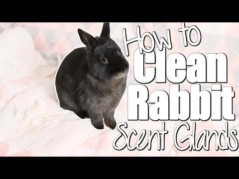 How To Clean a Rabbit's Scent Glands
