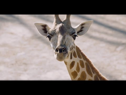 Happy World Giraffe Day from Auckland Zoo!