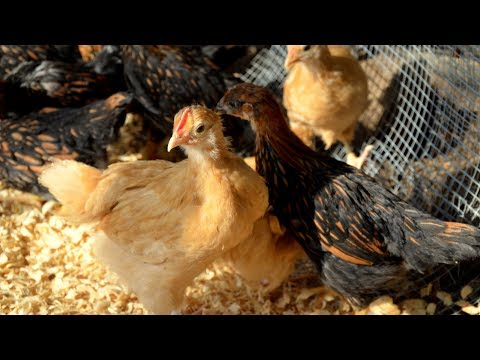Moving Chickens From Brooder to Coop