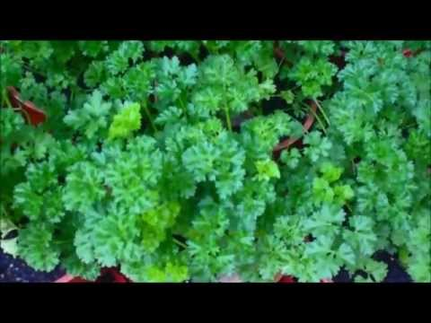 How To Grow Parsley in Pots Plus Companions
