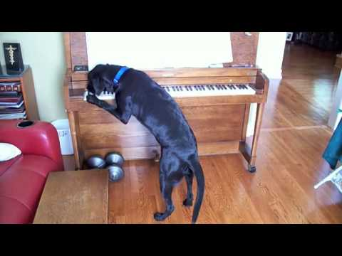 Dog Playing Piano (Canon)