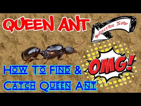 How To Catch A Queen Ant in Your House