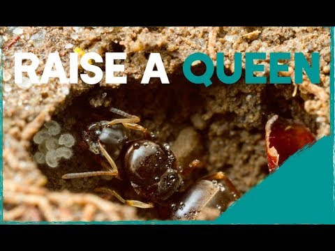 Ants international How To Raise A Queen Ant