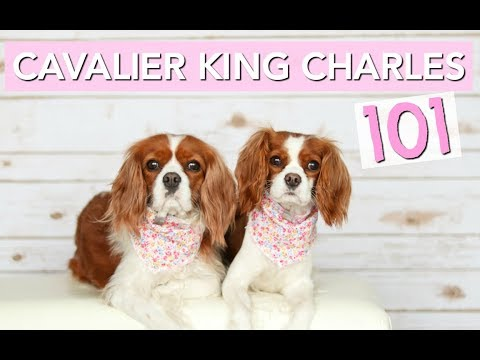 Cavalier King Charles Spaniels 101 | Dog Facts | Herky The Cavalier