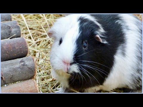 Wheek-ly Vlog 66: Guinea Pig Cage Cleaning & Hammock Time