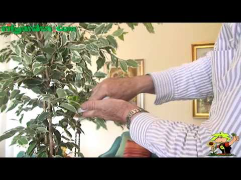 Cleaning the leaves of houseplants