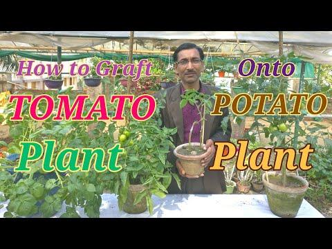 How to Graft Tomato on to Potato Plant