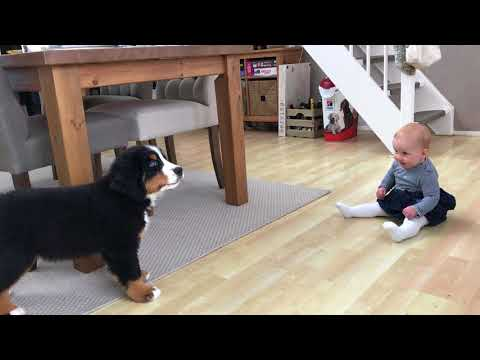 FIRST MEETING BABY vs BERNESE MOUNTAIN DOG PUPPY