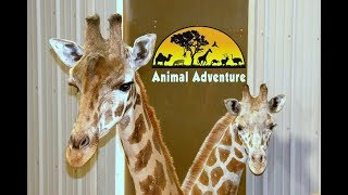 Download Tajiri the Giraffe Cam - Animal Adventure Park Video