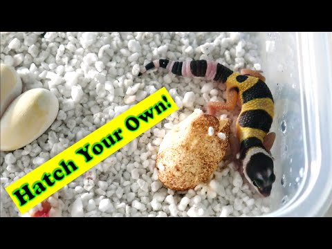 DIY Gecko Egg Incubator | Cheap and Easy!