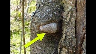 from (WW) embeded into trees in Nevsky Pyatachok   Russia