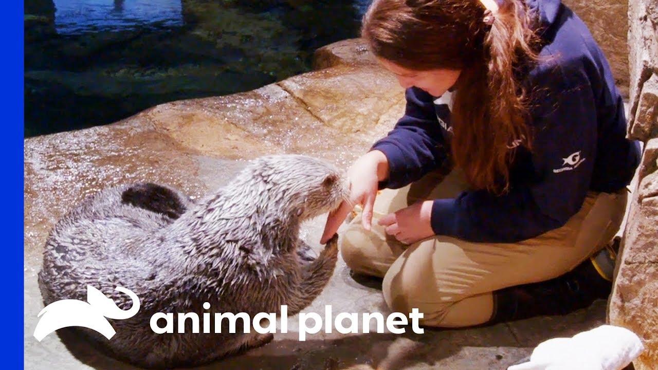 Saying Goodbye To Oz The Sea Otter   The Aquarium